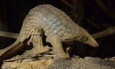 The US Fish and Wildlife Service has helped fund the trial that trains rats to detect the gamey smell of pangolin meat. Photograph: Hoang Dinh Nam/AFP/Getty Images