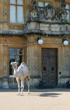 Why is there a camel at Highclere Castle? But he does look to the manor born, doesn't he?