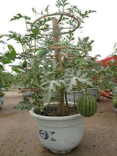 Have you ever grow watermelon in a container?