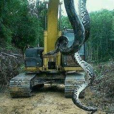 24 foot Rattle Snake- Bladen Co., N.C.----- Holy Shit!!!