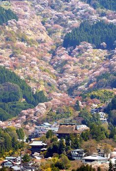 Wild cherry trees in Yoshino, Nara, Japan 吉野 奈良