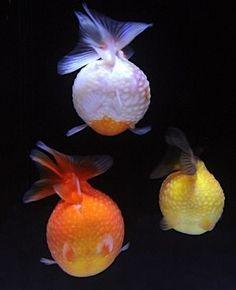 Lovely Goldfish