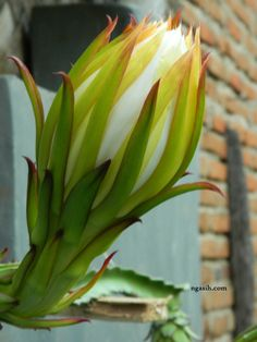 Dragon Fruit Flower Stages, It's Beautiful !