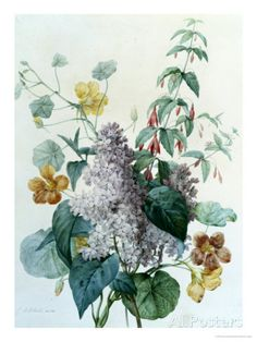 Study of Lilac, Capucine and Fuchsia Giclee Print by Pierre-Joseph Redouté at AllPosters.com