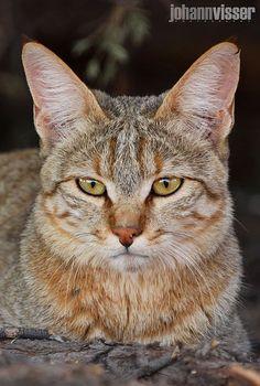 AFRICAN WILD CAT PORTRAIT - null