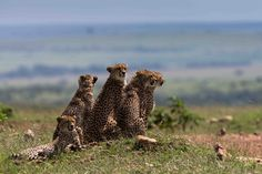 With razor sharp claws and lightning quick pace, cheetahs are one of the most fearsome predators in the animal kingdom.