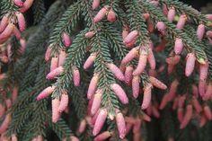 Picea orientalis (Oriental Spruce)
