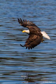 Bald Eagle near Sitka