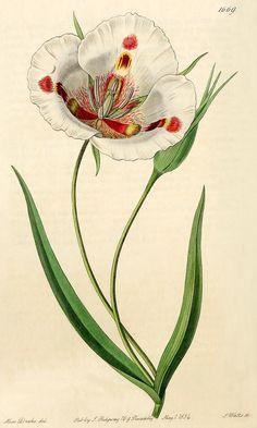 Calochortus venustus: Bot. Reg. 1669, 1835.
