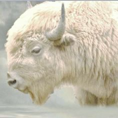 White Buffalo- Native Americans hold it sacred. A white buffalo was born in Wisconsin named Miracle. * * I REMEMBER THAT ! A Menomonee/Chippewa friend of mine and her daughter were rejoicing and went to see it.