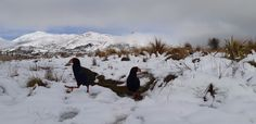 Wild takahē populations live among the snow tussocks of Fiordland's isolated Murchison Mountains. Takahē have adaptations that mean they can survive in harsh conditions. Flightless Bird, Ministry Of Education, Extinct, Endangered Species, Vulnerability, Conservation, New Zealand, Remote, Survival