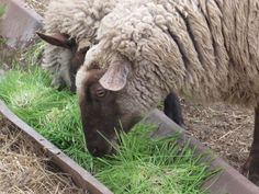 Hydroponic fodder has many health benefits for sheep