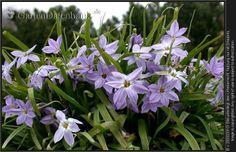 Ipheion uniflorum Sternblume, Frühlingsstern HP20-30feucht, trocken