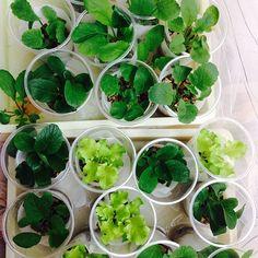 おうちに畑がないからと、野菜作りをあきらめていませんか。それなら水耕栽培を試してみてください。窓際やベランダなど、土のないちょっとした場所でも簡単に育てられます。収穫野菜は毎日の食卓にとっても重宝。清潔で安心安全、しかもローコスト!という、いいことづくめの家庭菜園。お子様と一緒に観察しながら楽しめば、親子で取り組む食育にもなりますね。