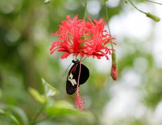 Schmetterling auf Hibiscus - a butterfly in the butterfly house hanging on a hibiscus flower Butterfly House, Hibiscus Flowers, Moth, Butterflies, Plants, Butterfly, Flora, Bowties, Plant