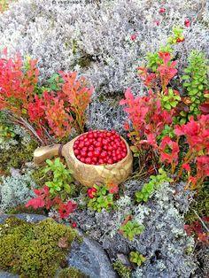 Puolukkakuksa ja ruskamustikat - puolukka Vaccinium vitis-idaea marja kypsä kypsät punainen terttu tertut kuksa kanervakasvi ikivihreä varpu suippolehti lehti syötävä pohjusmarja kangas jäkälä jäkälät jäkäläkangas sammal sammalet kivi mustikka mustikan varpu varvut punaiset lehti lehdet syksy taivas kirkas sininen kuulas Witch Cottage, Plant Magic, Edible Wild Plants, Warm Food, Wild Edibles, Nature Aesthetic, Green Nature, Healthy Fruits, Fall Photos