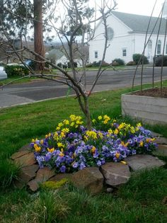 Pears, pansies and mini daffodils