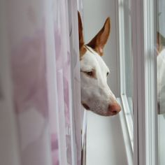 The Ibizan Hound or Podenco Ibicenco dog is a primitive Sighthound originating from, as its name suggests, Ibiza (Balaeric Islands), Spain. Hound Puppies, Hound Dog, Puppies For Sale, Dogs And Puppies, Ibizan Hound, Shar Pei, Types Of Dogs, Dog Days, Dog Breeds