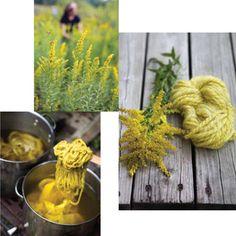 "goldenrod (Fibershed link to ""Harvesting Color""), blog here:  http://www.rebeccarburgess.com/"
