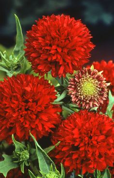 AAS 1991 Winner Gaillardia 'Red Plume' mounded plant is 12-14 inches high with 2-inch blooms held on strong stems just above the foliage.