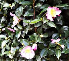 First-Camellia-Sasanquas-of-the-Season.jpg (600×535)