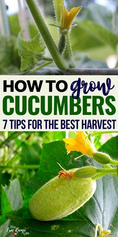Cucumbers are one of my favorite crops to grow in the garden. Here are 7 tips for growing cucumbers successfully in your vegetable garden. plans 7 Tips for Growing Cucumbers Small Vegetable Gardens, Vegetable Garden Design, Vegetable Gardening, Flower Gardening, Veggie Gardens, Veg Garden, Garden Art, Planting Vegetables, Growing Vegetables