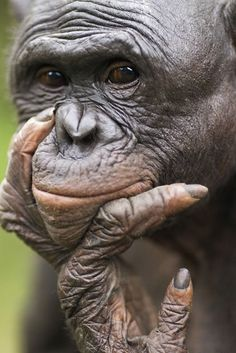A portrait of mature male bonobo named Makali looking thoughtful at Lola Ya Bonobo Sanctuary, Democratic Republic of Congo