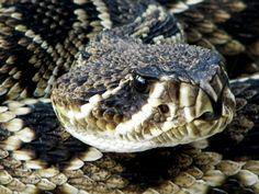 Fear - eastern diamondback rattlesnake