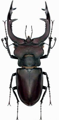 Lucanus cervus // Stag Beetle