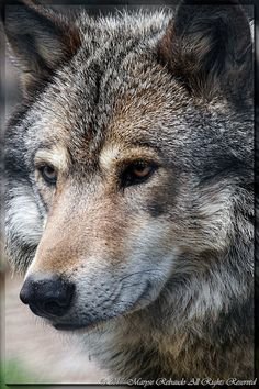 Wolf Images, Wolf Photos, Wolf Pictures, Tier Wolf, Husky Faces, Saarloos, Wolf Husky, Wolf Artwork, Fox Dog