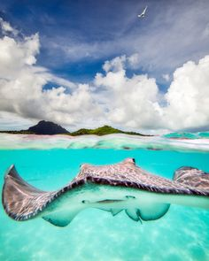 Stingray in Bora Bora, French Polynesia