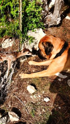 Post with 148 views. My roommate in college just posted his English Mastiff, Grady, nose to nose with a baby deer. I think this is where they get the saying 'gentle giant' from. Old English Mastiffs, English Mastiff Puppies, Black Mastiff, Bull Mastiff Dogs, American Mastiff, Giant Dog Breeds, Baby Deer, Gentle Giant, Large Dogs