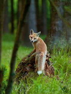 Little fox by Konakira red fox