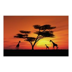 This image shows an idyllic sunset with giraffe and  umbrella acacia