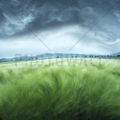 Green Barley Field - Wall Mural & Photo Wallpaper - Photowall