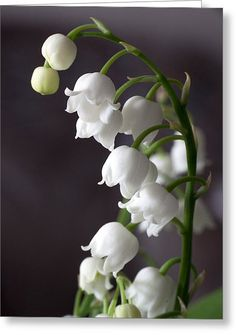 Lily Of The Valley Greeting Card by Daniel Csoka