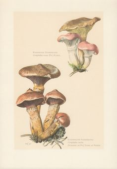 1963 Mushroom Print Fungi Illustration Gomphidius by Craftissimo