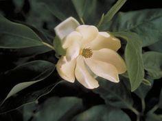Magnolia virginiana (Sweetbay)