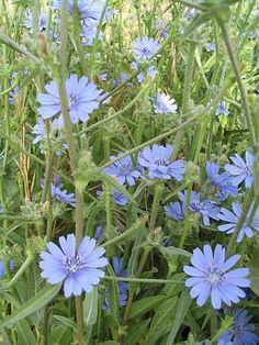 Cichorium - Chicory - a great edible daisy. Some varieties grown for their leaves, like Endive and Radicchio and other types of chicory have roots used as a coffee substitute. Tree Wedding, Garden Wedding, Wedding Flowers, Landscaping Plants, Garden Plants, Herb Garden, Blue Flowers, Wild Flowers, Blue Daisy