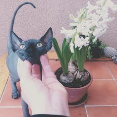 sphynx Puppies And Kitties, Cute Cats And Dogs, Cats And Kittens, Bear Puppy, Devon Rex Cats, Sphinx Cat, Cat Aesthetic, Crazy Cats, Fur Babies