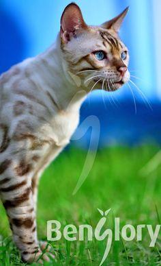 Our Bengal cat RISNSUN YETI is a remarkable snow-colored Bengal. cat, cats, kitty, gatto, puss, neko, kitten, katzen, gatti, kat. #Bengal #cat