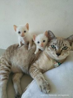 Mama cat with cute kittens Cute Kittens, Cats And Kittens, Kittens Meowing, Ragdoll Kittens, Tabby Cats, Bengal Cats, Caracal Cat, Sphynx Cat, I Love Cats