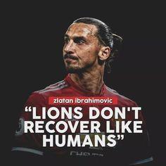 Kết quả hình ảnh cho zlatan ibrahimovic lion quotes