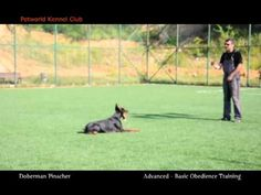 Advanced and Basic Obedience Training - Doberman Pinscher (Pars) - http://www.doggietalent.com/2014/11/advanced-and-basic-obedience-training-doberman-pinscher-pars/