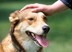 Al igual que sucede con los humanos, los perros también pueden padecer ataques epilépticos, de mayor o menor intensidad y gravedad. Debemos conocer bien la epilepsia en perros, para poder detectarla en caso de que …
