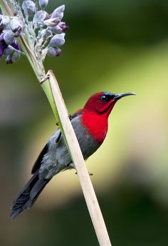 Crimson Sunbird - Found in Singapore forest | by Allan Seah
