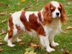Brown and white Cavalier King Charles