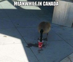 Meanwhile in Canada added a new photo. - Meanwhile in Canada Canadian Memes, Canadian Things, I Am Canadian, Canadian Humour, Canadian Culture, Canada Jokes, Canada Funny, Canada 150, Meanwhile In Canada