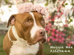 8/31/16 MAGGIE MAE - URGENT - located at CITY OF LOS ANGELES SOUTH LA ANIMAL SHELTER in…