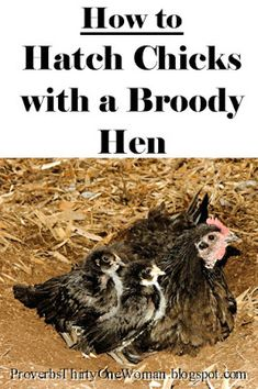 How to Hatch Chicks with a Broody Hen